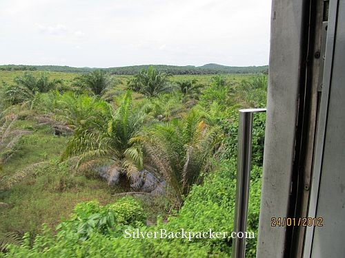 Jungle cleared. palm oil planted