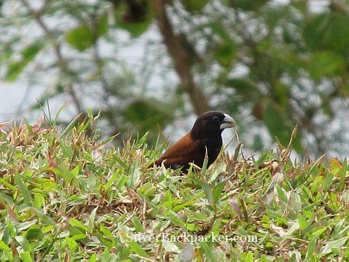 """Those birds are """"pulang maya"""" or red maya aka chestnut munia."""