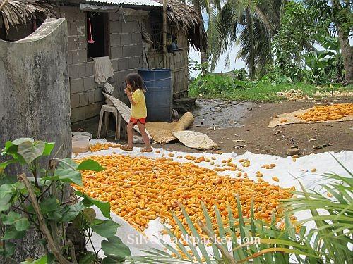 San Miguel Sweet Corn drying