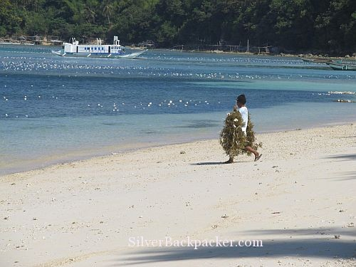 newly tied seaweed being taken back to sea