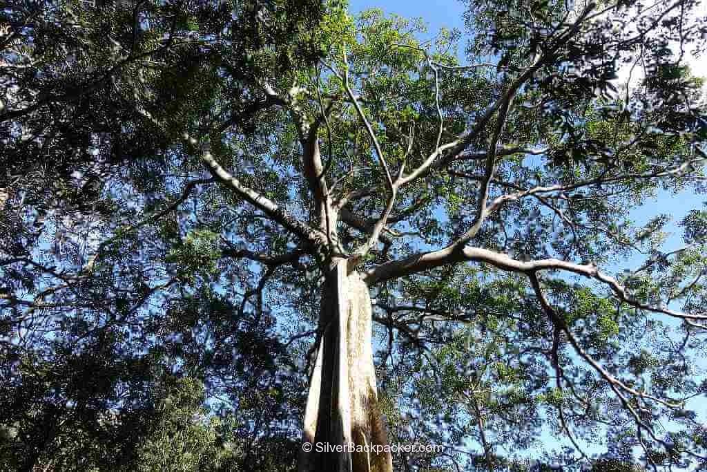 Century old tree canopy Mt Sedir Danglas Abra