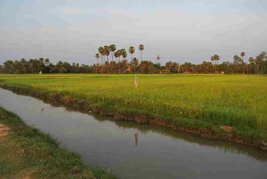Siem Reap Ricefields Cambodia