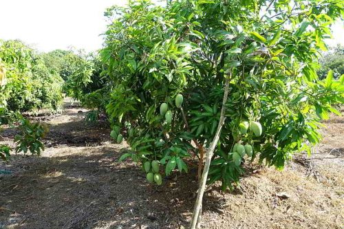 Mangoes on Dupo Farm, La Paz, Abra