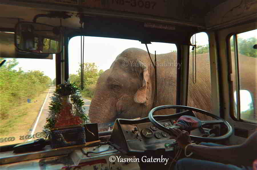 Elephant crosses infront of a bus in Sri Lanka