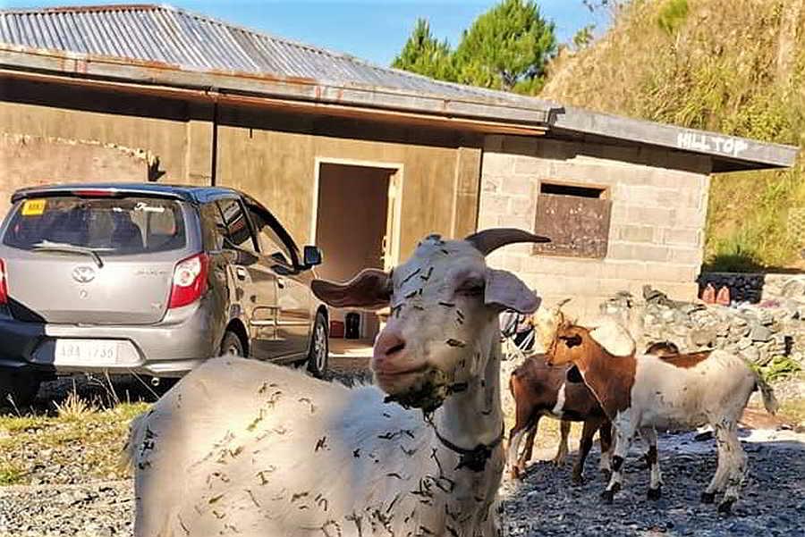 Goats visit Hilltop Resthouse, Nagpaoayan,Licuan Baay,Abra