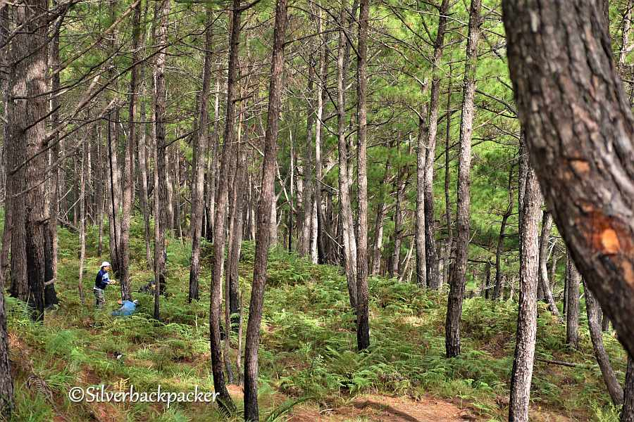 Saad Pine Forest Campsite, Malibcong, Abra Route 204