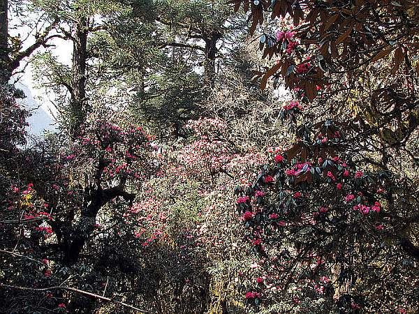 Manaslu-Circuit_Rhododendron_Forest Photo Courtesy – Spencer Weart