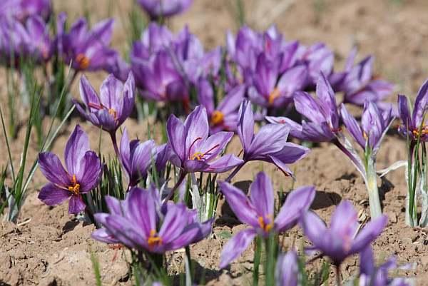 Offbeat India Tour Ideas Bardeskan saffron farms of Pampore, Jammu & Kashmir Photo Courtesy – Rahiane Shomal